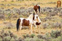 Pair of Wild Mustang Horses. A pair wild mustang horse in Wyoming royalty free stock images