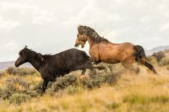 Pair of Wild Mustangs Royalty Free Stock Photography