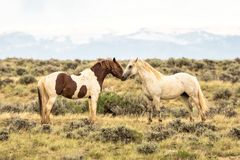 Pair of Wild Mustangs. Pair of wild mustang horses in Wyoming Royalty Free Stock Photo