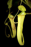 A Pair of Wild Nepenthes mirabilis Stock Photography