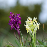 Pair of wild orchids Royalty Free Stock Photography