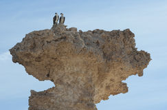 Pair of wild ospreys perched on a rock Royalty Free Stock Photography