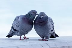 The pair of wild pigeons. A pair of wild, urban pigeons Columba livia domesica in the period of courtship Stock Photos