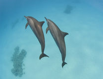 Pair of wild spinner dolphins. Swimming underwater in a sandy lagoon Royalty Free Stock Images