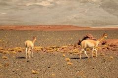 Pair Wild Vicuna Grazing on the Expanse Desert of Los Flamencos National Reserve, San Pedro de Atacama, Antofagasta, Chile. Beauty in Nature stock image
