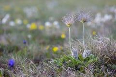 Pair of wildflowers in spring blooming meadow. Perfect anemone, Pulsatilla taurica, Ranunculaceae, wild meadow flowers. royalty free stock photo