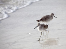 Pair of Willets on Beach Royalty Free Stock Photography