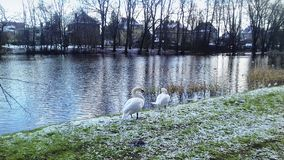 A pair of winter swans stock photo
