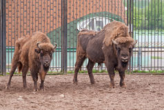 A pair of wisents. (Bison bonasus Royalty Free Stock Photography