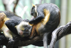 Pair of Wolf`s Guenon Monkeys Grooming Each Other Royalty Free Stock Images