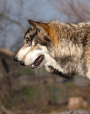 Pair of Wolves Royalty Free Stock Images