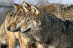 Pair of wolves. Pair of european gray wolves stock photography