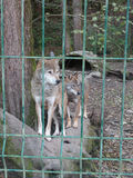 Pair wolves behind fence, Caucasus Nature Reserve. Pair wolves standing on fallen tree Stock Photography