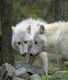 A pair of wolves showing their tongues Stock Photo