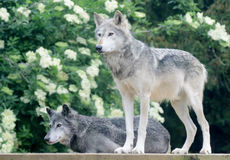 Pair of wolves Royalty Free Stock Photography
