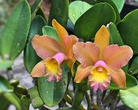 Pair of wonderfull orchid flowers. Beautiful pair of orchid flowers from brazil Stock Image