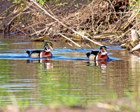 A Pair of Wood Ducks. The wood duck or Carolina duck (Aix sponsa) is a species of perching duck found in North America. It is one of the most colorful North Stock Photos