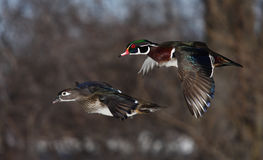 Pair of Wood ducks flying Stock Photo