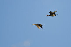 Pair of Wood Ducks Flying in a Blue Sky Royalty Free Stock Image