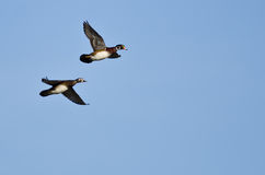 Pair of Wood Ducks Flying In a Blue Sky Stock Photos