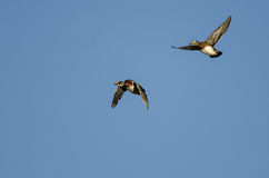 Pair of Wood Ducks Flying in a Blue Sky Stock Images