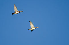 Pair of Wood Ducks Flying in a Blue Sky Royalty Free Stock Photo