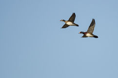 Pair of Wood Ducks Flying in a Blue Sky Royalty Free Stock Photos