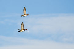 Pair of Wood Ducks Flying in a Blue Sky Stock Image