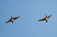 Pair of Wood Ducks Flying in a Blue Sky Royalty Free Stock Images