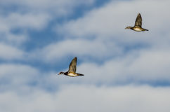 Pair of Wood Ducks Flying in a Blue Sky Royalty Free Stock Photography
