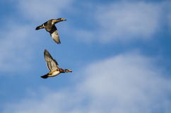 Pair of Wood Ducks Flying in a Blue Sky Stock Photo