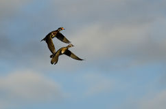 Pair of Wood Ducks Flying in a Cloudy Blue Sky Stock Image