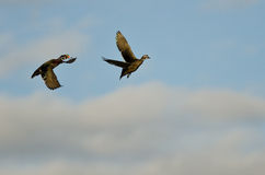 Pair of Wood Ducks Flying in a Cloudy Blue Sky Royalty Free Stock Images