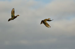 Pair of Wood Ducks Flying in a Cloudy Sk Royalty Free Stock Images