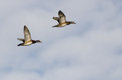 Pair of Wood Ducks Flying on a Light Background Stock Images