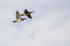 Pair of Wood Ducks Flying on a Light Background. Pair of Wood Ducks Flying on a Light Blue Background Stock Photos