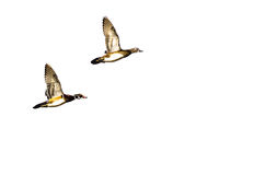 Pair of Wood Ducks Flying on a Light Background. Pair of Wood Ducks Flying on a Light Colored Background Stock Image