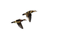 Pair of Wood Ducks Flying on a Light Background. Pair of Wood Ducks Flying in Sync on a Light Background Royalty Free Stock Photos