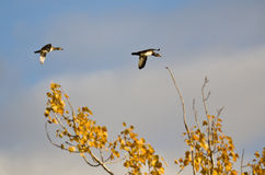 Pair of Wood Ducks Flying Low Over the Tree Tops. Pair of Wood Ducks Flying Low Over the Autumn Tree Tops Royalty Free Stock Image
