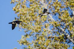 Pair of Wood Ducks Flying Past the Autumn Trees. Pair of Wood Ducks Flying Past the Golden Autumn Trees Royalty Free Stock Photos