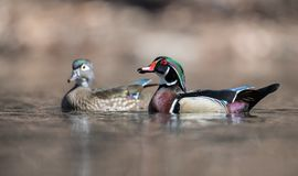 Wood Duck in the Water stock photo