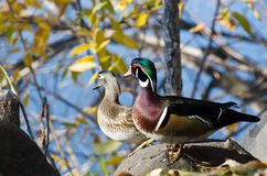 Pair of Wood Ducks Looking Out Over the Lake. Pair of Wood Ducks Looking Out Over the Distant Lake Stock Photo