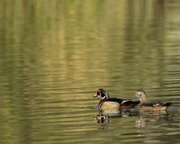 Pair of wood ducks royalty free stock photography