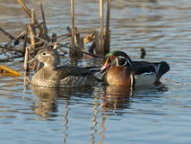 Pair of Wood Ducks Stock Photos
