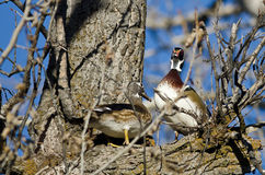 Pair of Wood Ducks Perched in a Tree Stock Photos
