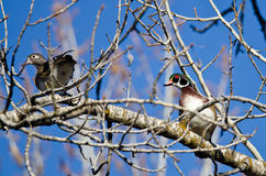 Pair of Wood Ducks Perched in a Tree Royalty Free Stock Photography