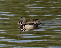 A Pair of Wood Ducks. This is a Spring picture of a pair of Wood Ducks on the North Pond in Lincoln Park located in Chicago, Illinois in Cook County.  This royalty free stock photos