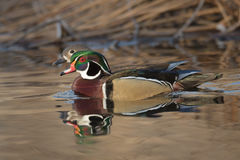 Pair of Wood Ducks. Wood ducks swimming in a pond during golden hour Stock Photos