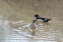 Pair of wood ducks in water. Mating pair of wood ducks swimming in water on sunny day Stock Photo