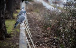 Pair of wood pigeons sitting on a fence royalty free stock photo